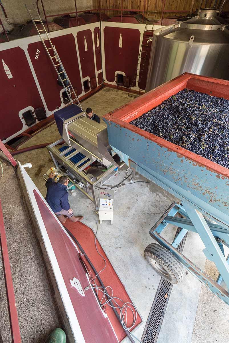 grappe de raisins dans table de triage au manoir de la bellonnière